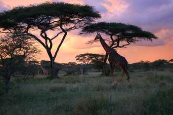 해질무렵의 아프리카의 초원(출처: http://www.africadreamsafaris.com)